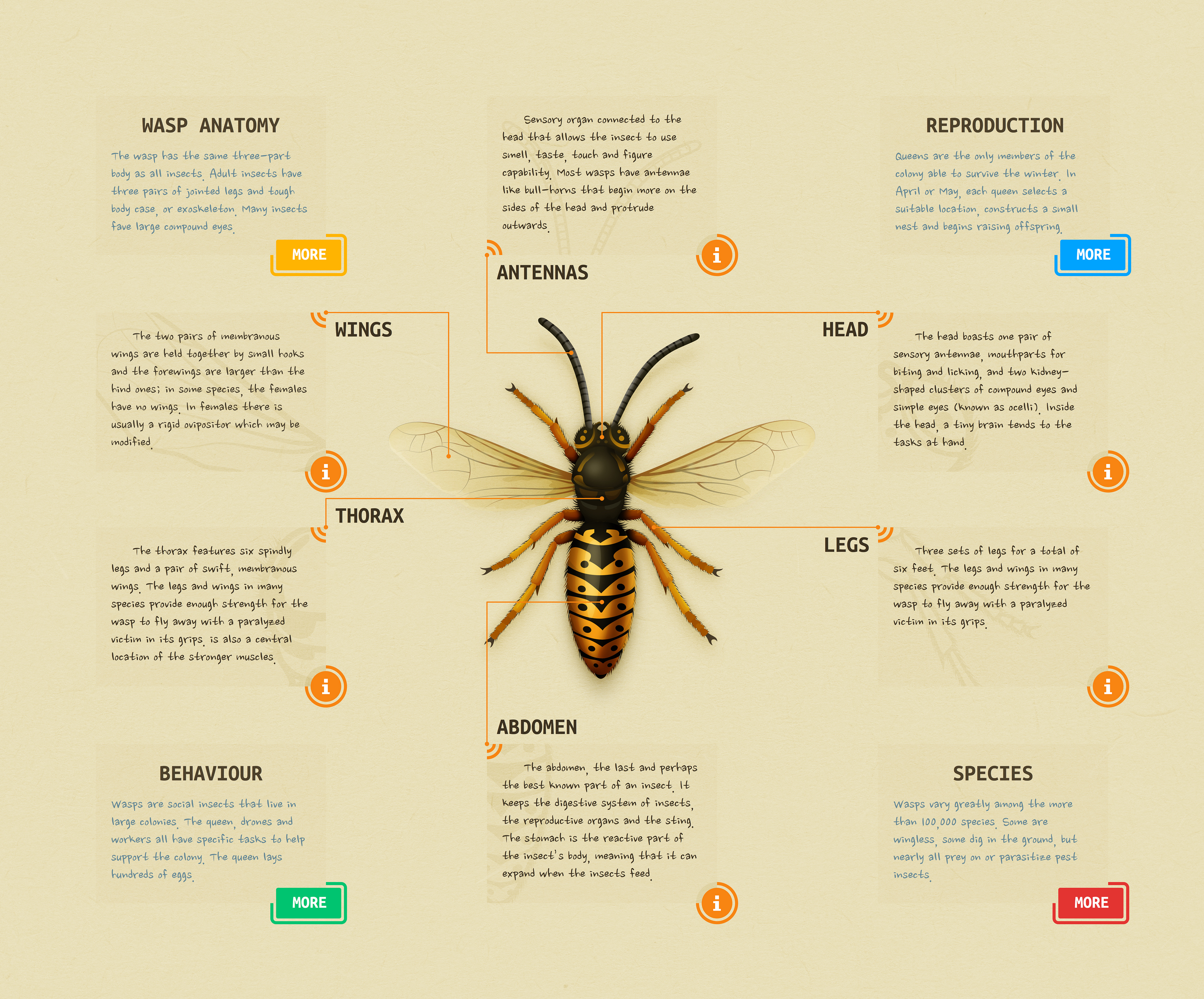 Andrei Marius - Wasp Anatomy Diagram