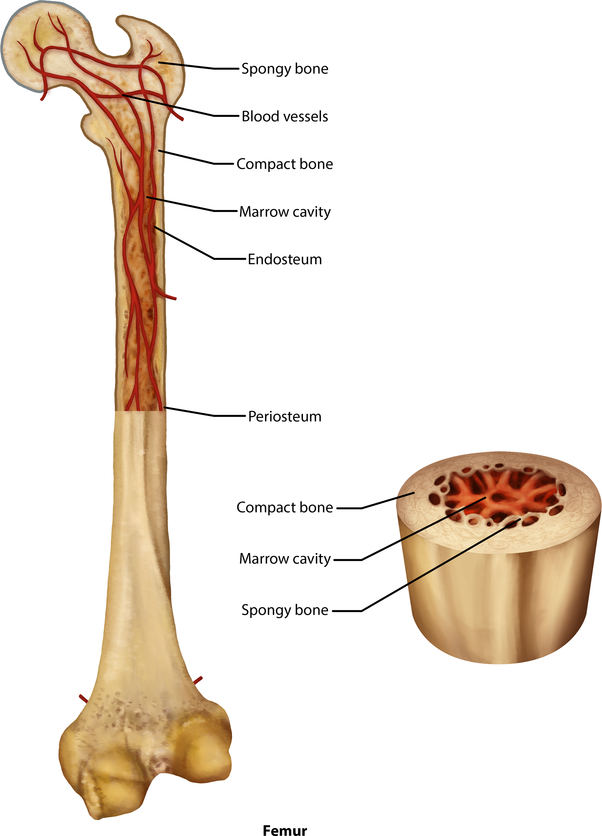 Brittany Clark - Bone Anatomy