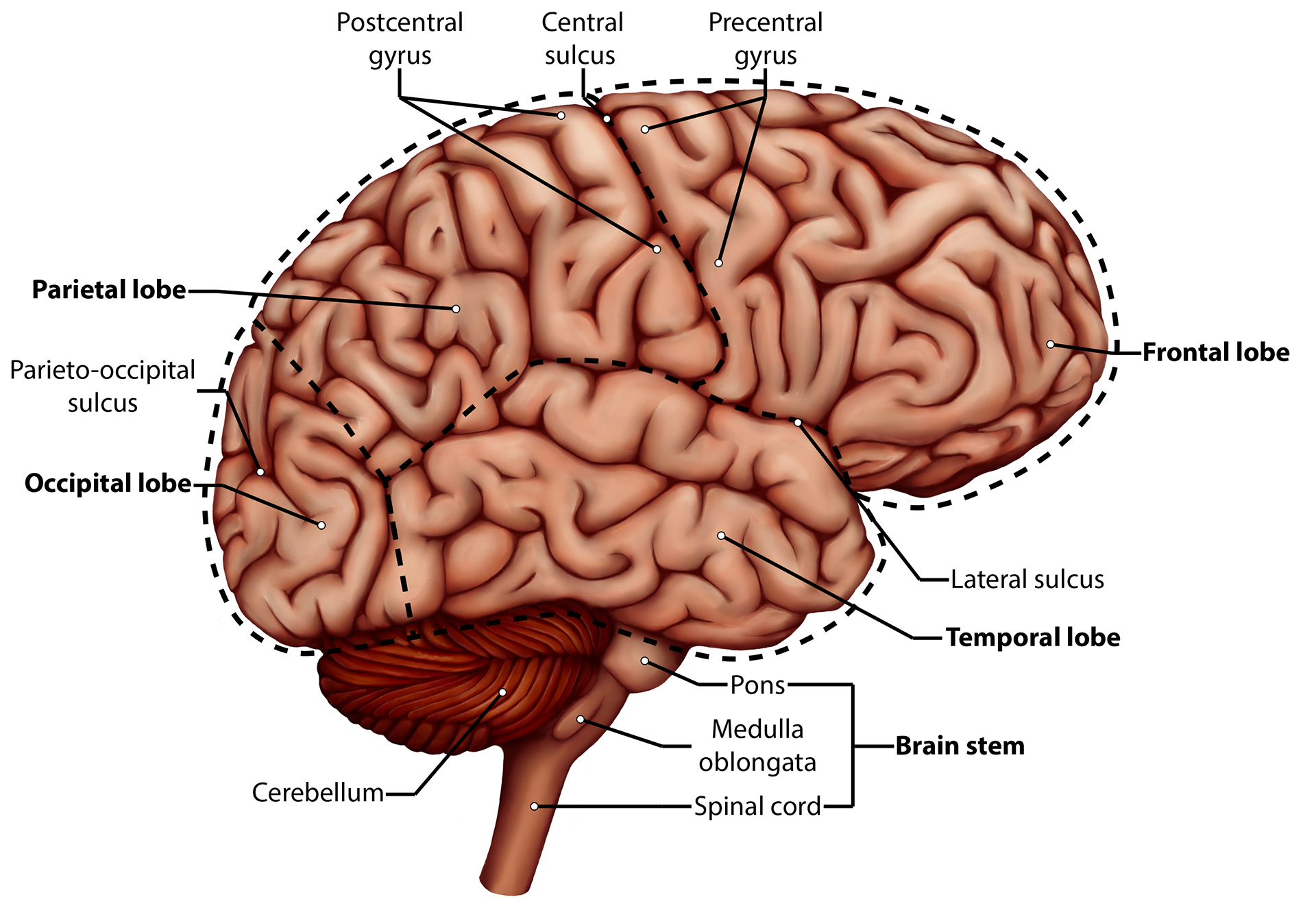 Brittany clark brain side view and sagittal cuts of the human brain and cerebellum with labeled diagrams of all three ccuart Choice Image