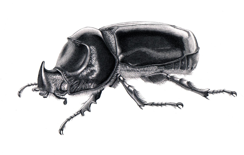 medy oberendorff illustratie - rhinoceros beetle
